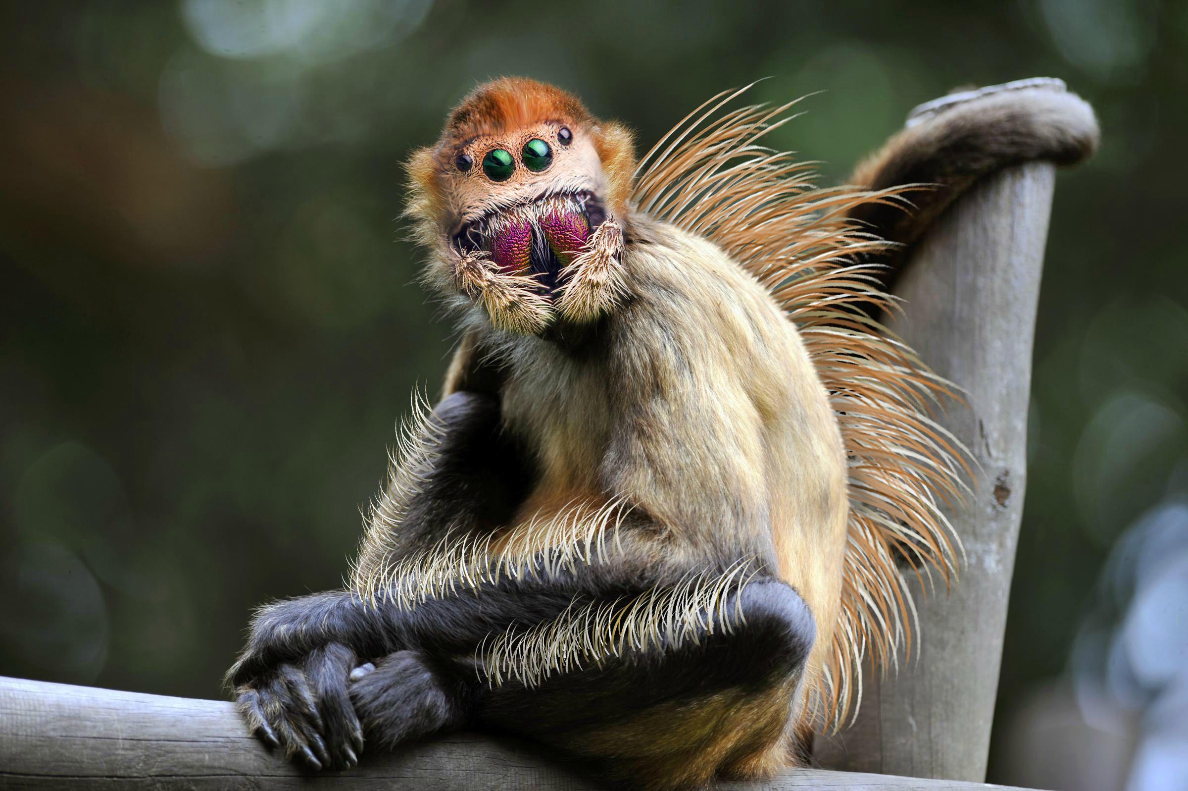 Jumping Spider Monkey by AnimalKingdom Reddit (Jumping