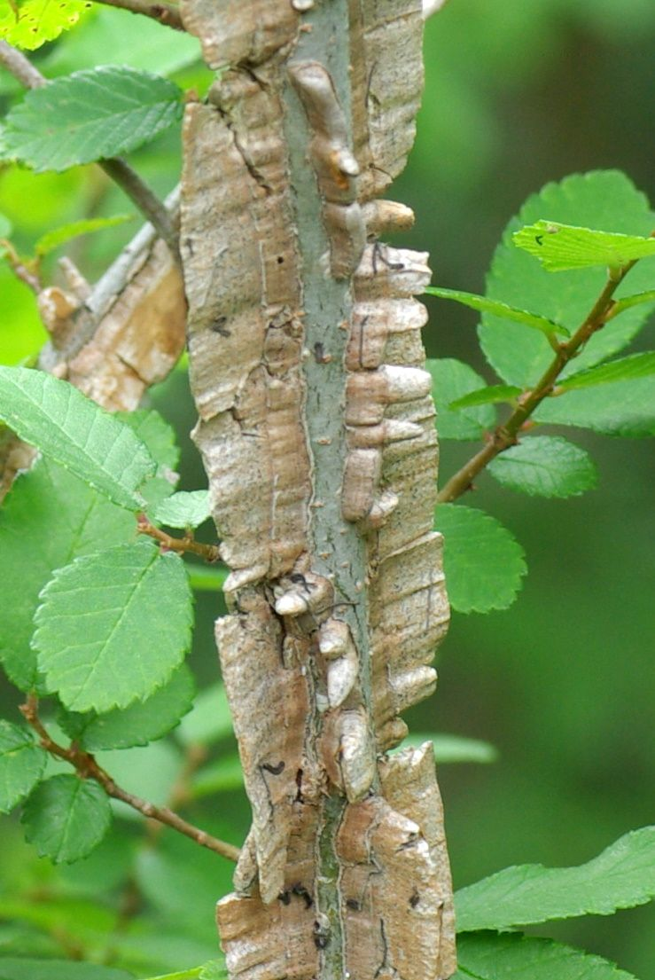 Winged Elm Tree Information Learn About Uses For Winged Elm