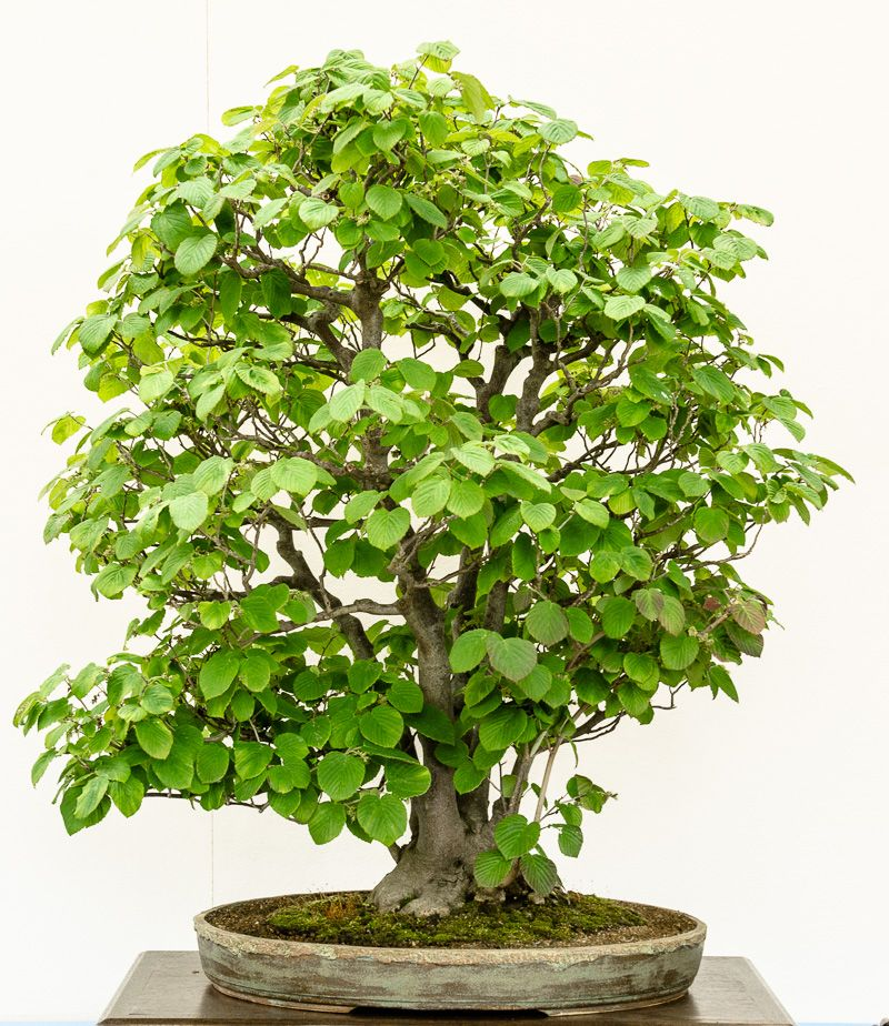 hrige scheinhasel corylopsis spicata als bonsai bonsai b ume pinterest garten m nchen. Black Bedroom Furniture Sets. Home Design Ideas