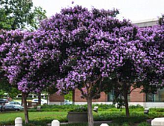 Muskogee Crape Myrtle Image Myrtle Tree Crape Myrtle Lilac Tree