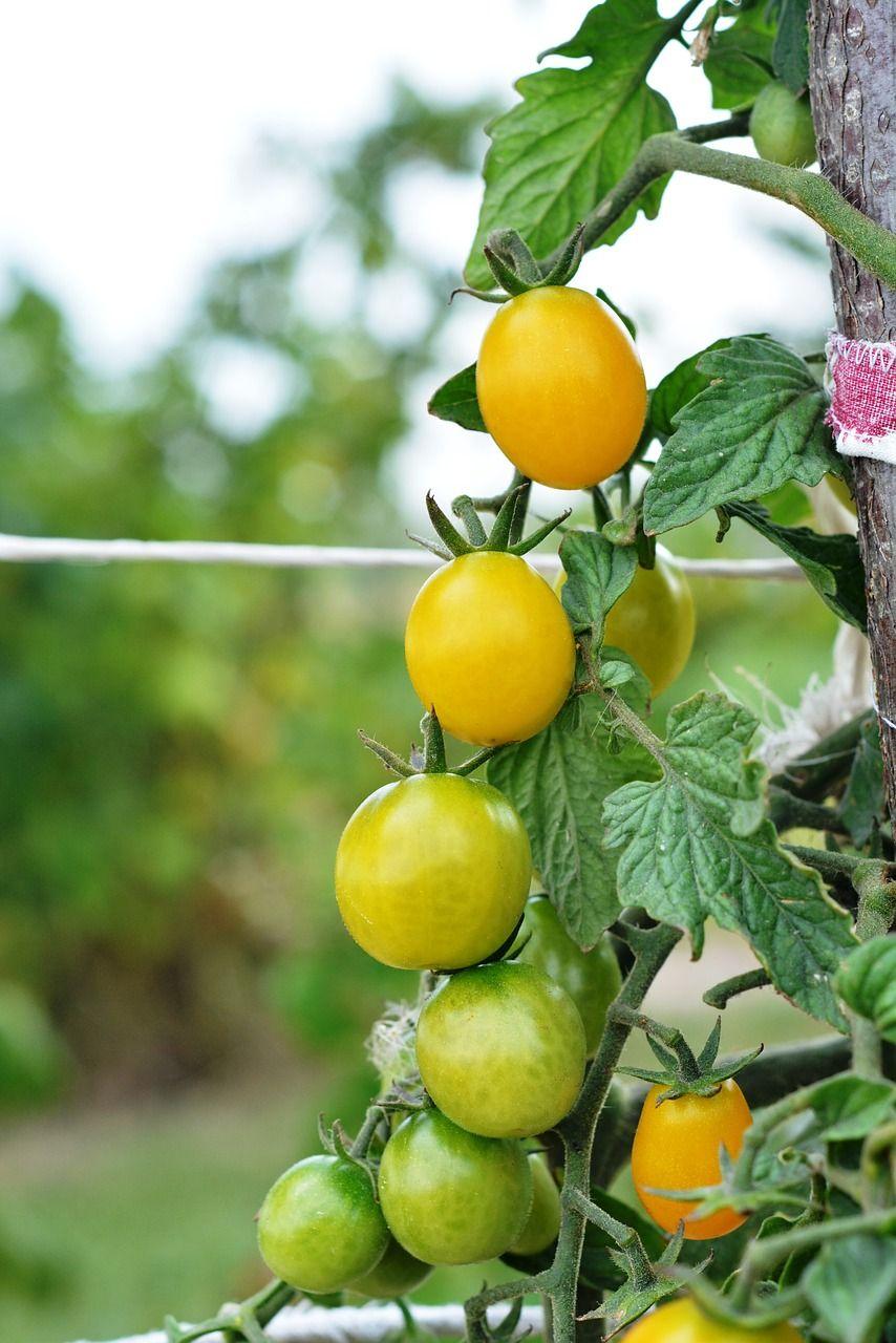 sembrar tomates cherry
