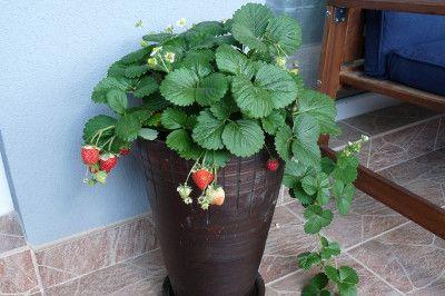 Truskawki Na Balkonie Odmiany Uprawa Kiedy Sadzic Growing Strawberries Strawberry Hanging