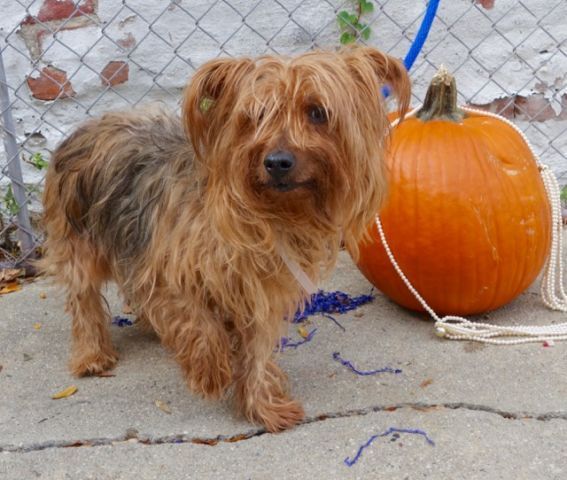 ZIPPY – A1095219  MALE, TAN, YORKSHIRE TERR MIX, 8 yrs STRAY – STRAY WAIT, NO HOLD Reason STRAY Intake condition UNSPECIFIE Intake Date 10/30/2016, From NY 11420, DueOut Date 11/02/2016,