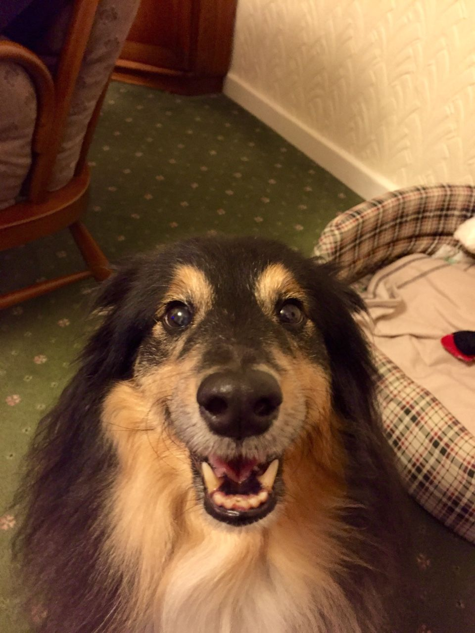 https://www.tumblr.com/search/sheltie/recent