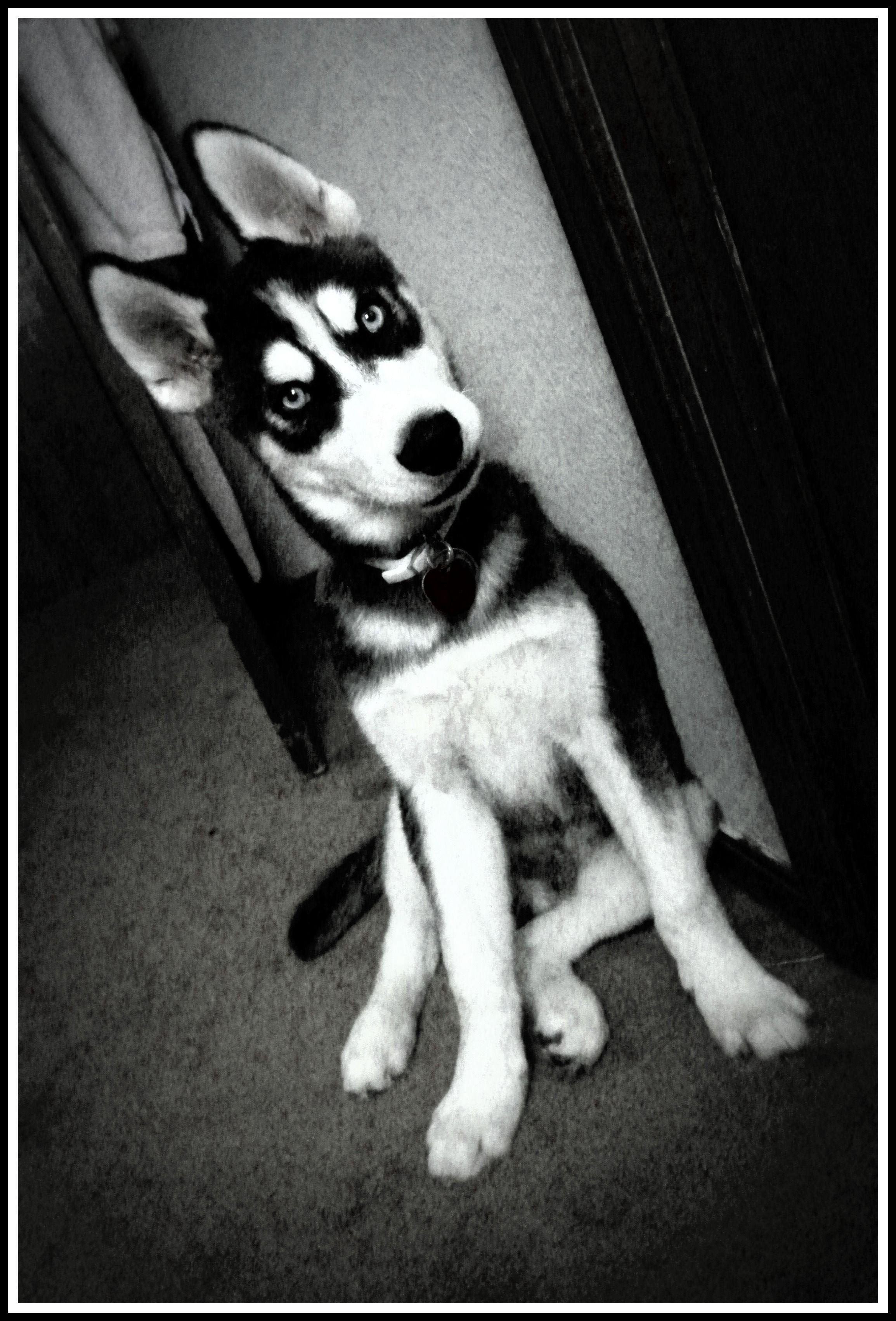 Our husky baby Kodah