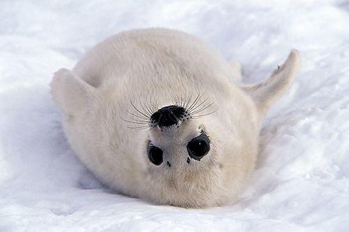 Alessandra Meniconzi - Baby Seal by naturesbestblog.com, via Flickr