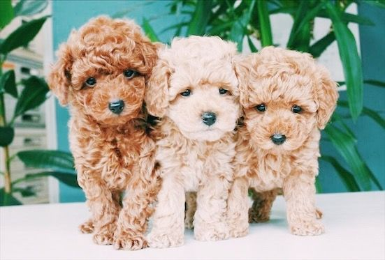 Pin By Raelynn Grossman On A N I M A L S Cockapoo Puppies Cute Dogs And Puppies Cute Animals