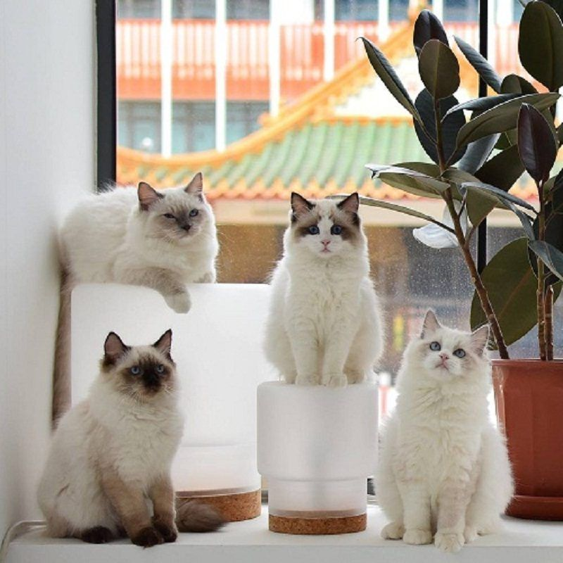 The Ragdoll Cat Is One Of The Most Popular Breeds Of Cats It