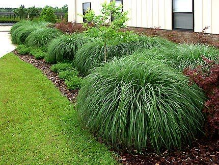 1 of 2 top miscanthus for z9b miscanthus sinensis for Maiden grass landscaping ideas
