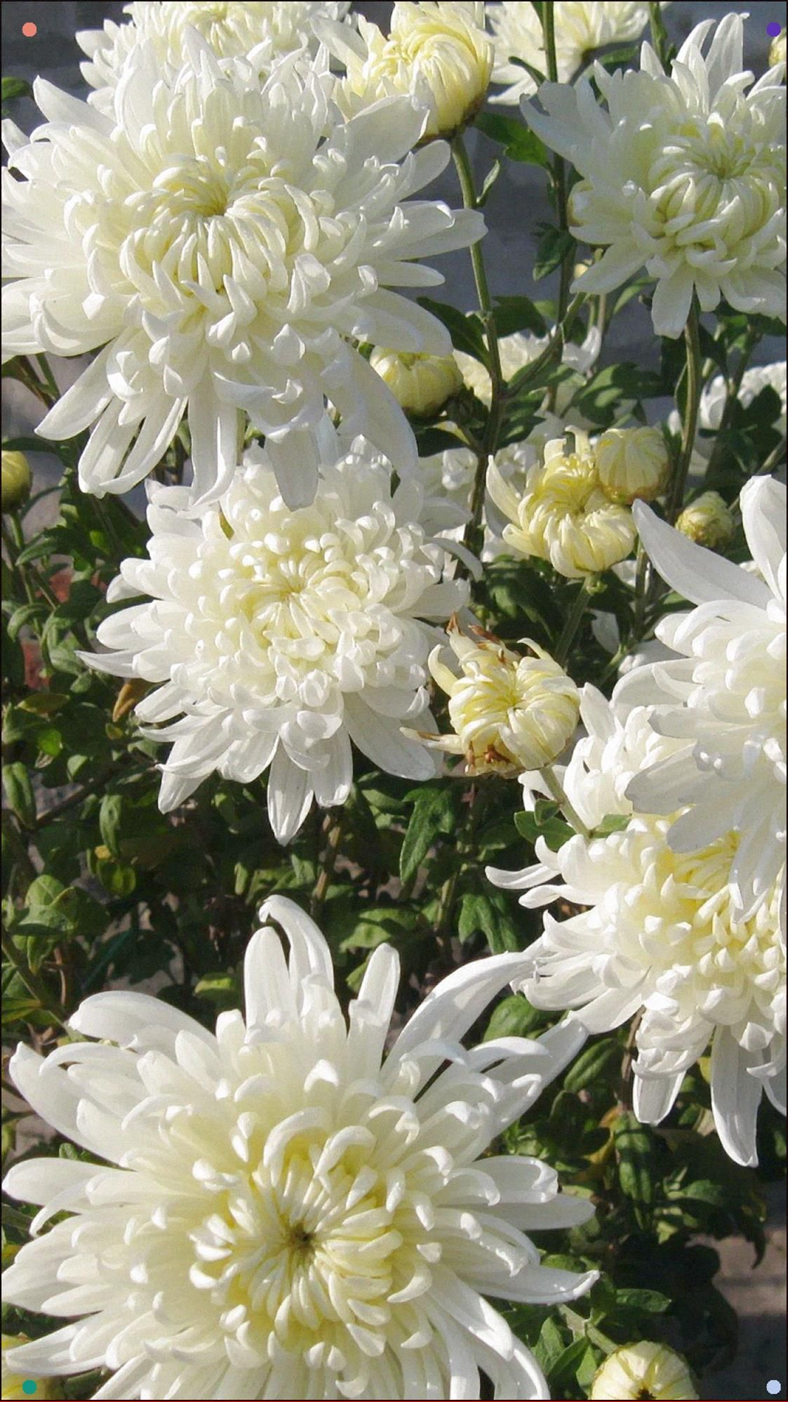 Chrysanthemums, Flowers, White, Flower, Wall