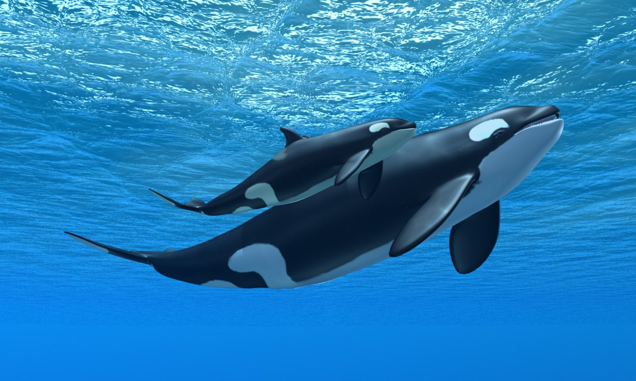 Orcas The Super-Mom