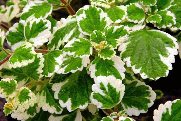 Rosliny Odstraszajace Komary Plantas Flores Jardineria