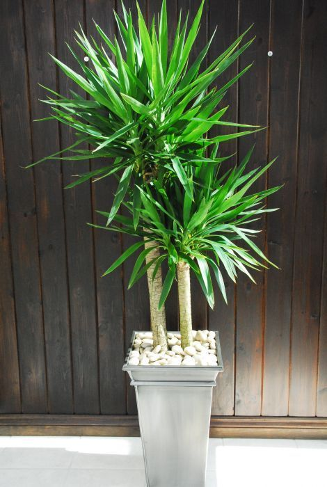 hanging office plants | Yucca Plant (2-Canes) | Green ...