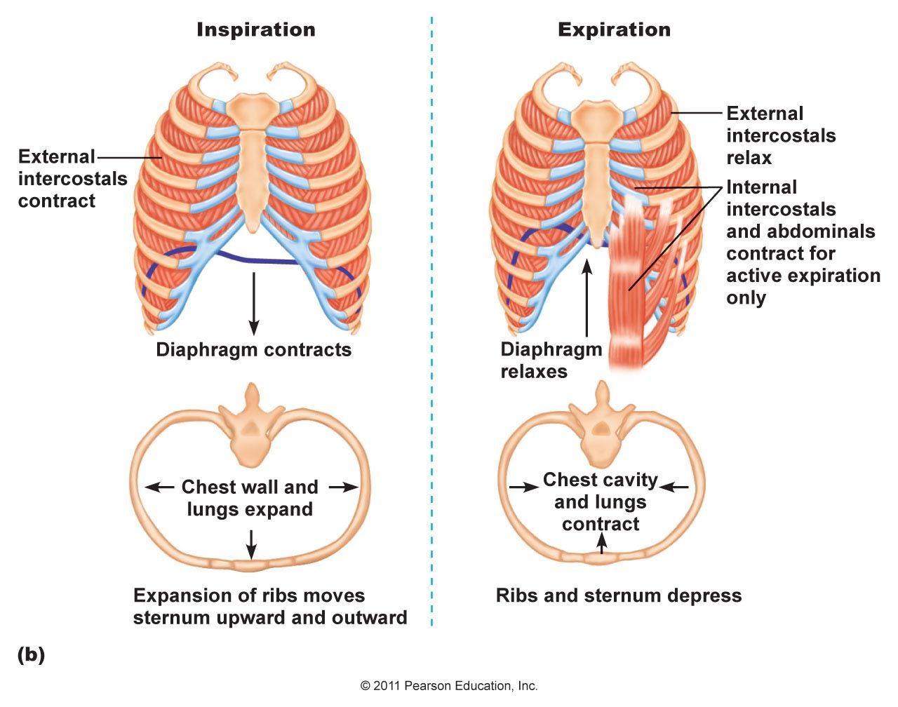 Muscles of Speech | IMAGE : REspiratory System Chapter 16. Diaphragm ...