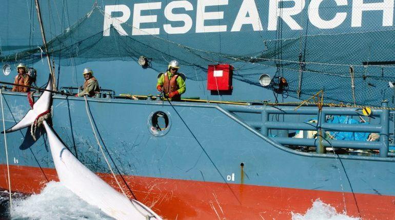 Chasse à la baleine : le Japon ne pourra plus capturer de cétacés