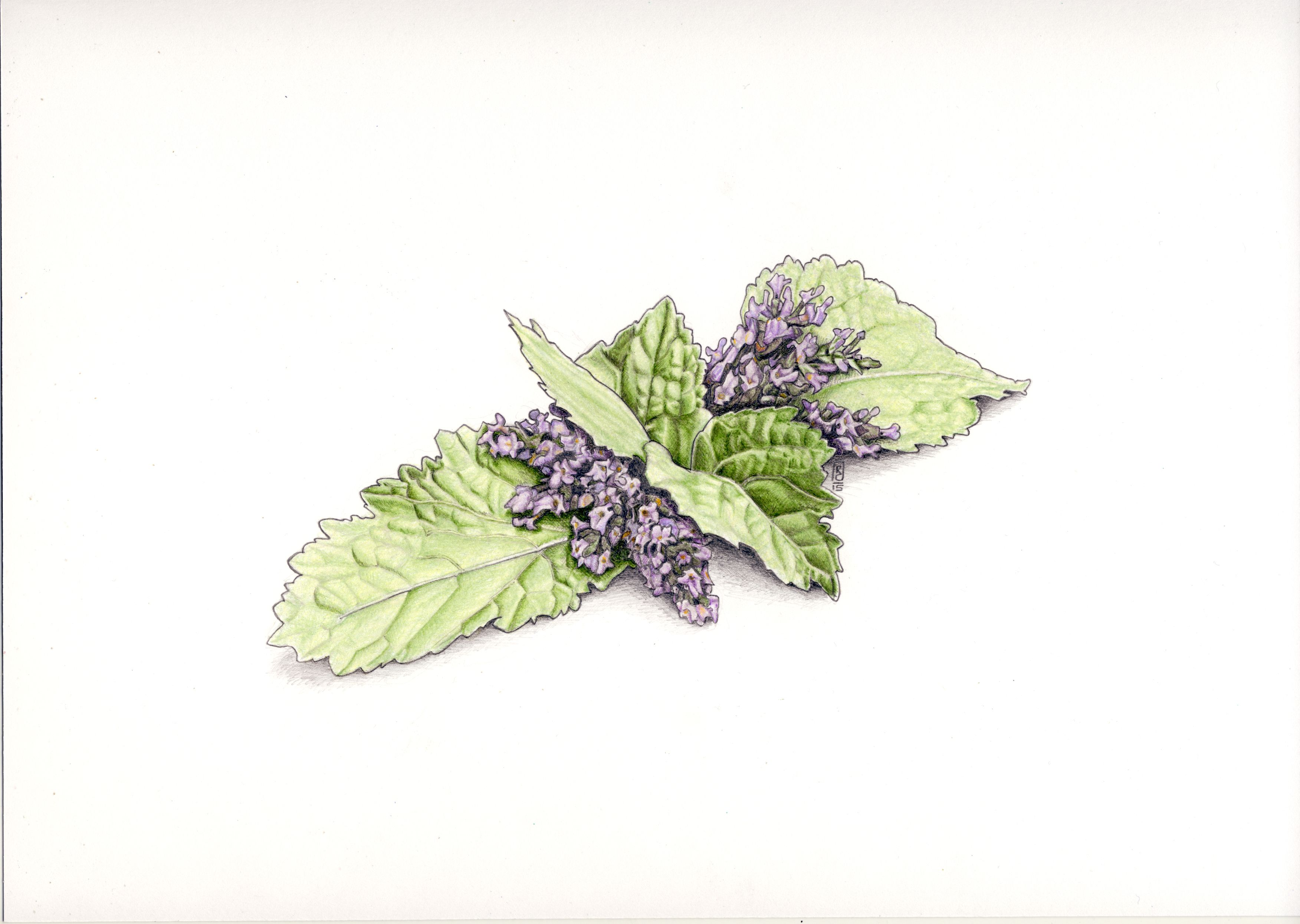 Patchouli Leaves and Flowers in colored pencil and graphite by Robert Ciampa Illustration www.ciampa-illustration.com
