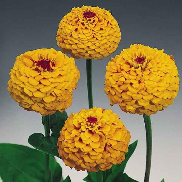 Zinnia oklahoma golden yellow flowers on strong long stems zinnia oklahoma golden yellow flowers on strong long stems mightylinksfo