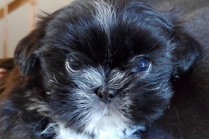 Henrique Shih Tzu Puppies Available Puppies In 2020 Shih Tzu Puppy Puppies Shih Tzu