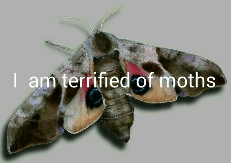 Motte Phobia Moth Dragonfly Insect Hummingbird Moth