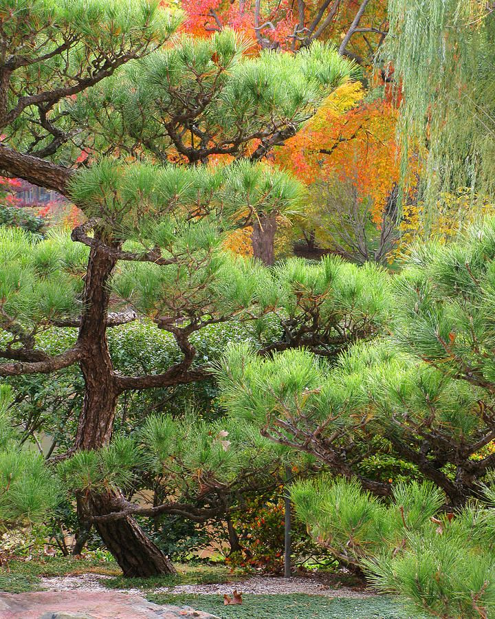 Pine And Autumn Colors In A Japanese Garden