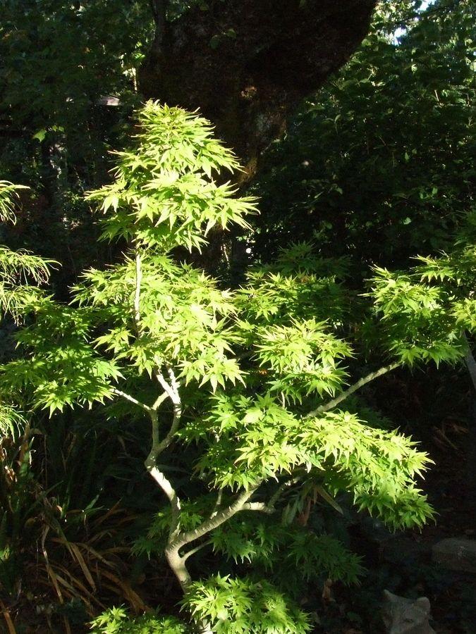 Acer palmatum 'Mikawa Yatsubusa'