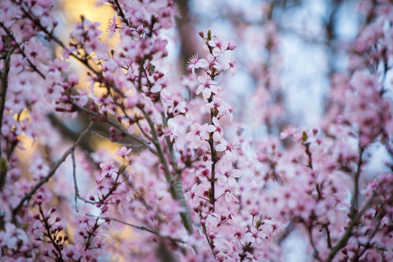 Georgia Peach Blossoms | Trees | Natural allergy relief