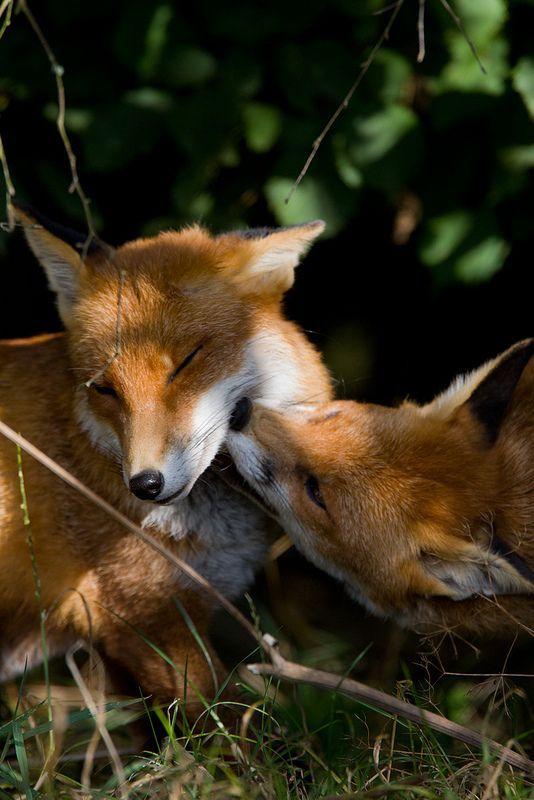 smooch #foxes #fox #cute #animals #cubs #cutie #wow #lol #gift #gifts #shirt #foxy #furry #animal #fuchs #füchse #raposo #renard
