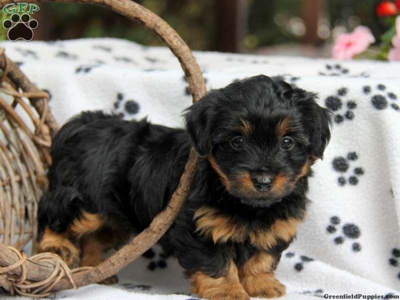 Gwennie Dorkie Puppy For Sale In Pennsylvania Dog Breeds