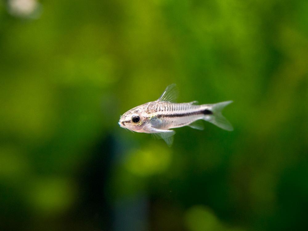 Pygmy Cory Catfish Corydoras Pygmaeus Tank Bred Cory Catfish Catfish Catfish Tank