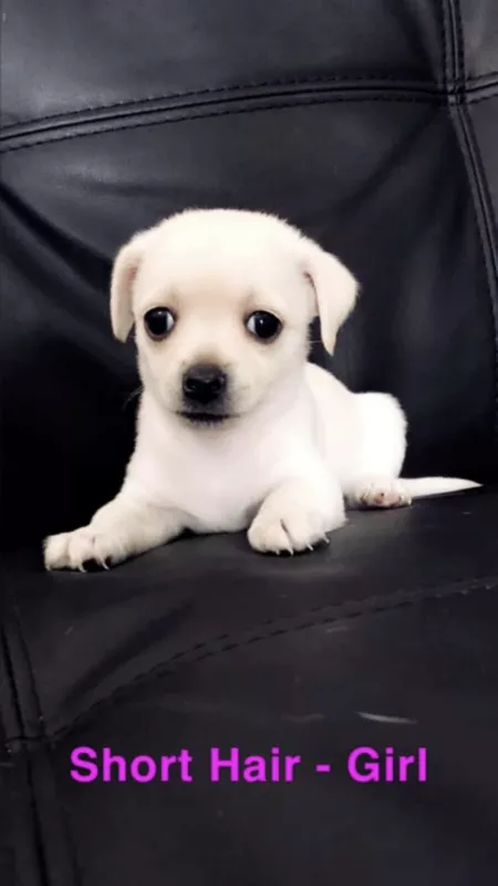 Chihuahua X Puppies For Sale Dogs Puppies Gumtree Australia