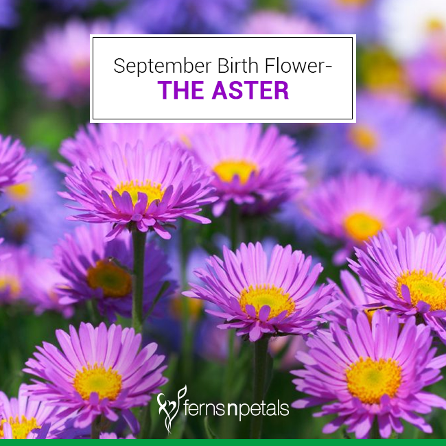 Article September Birth Flower The Aster Ferns N Petals September Birth Flower Birth Flowers Birth Month Flowers