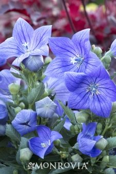 """Sentimental Blue Balloon Flower. Sun to Partial Sun, 6-12"""" tall, 12-18"""" wide. Perfect at front of border. Summer blooming."""