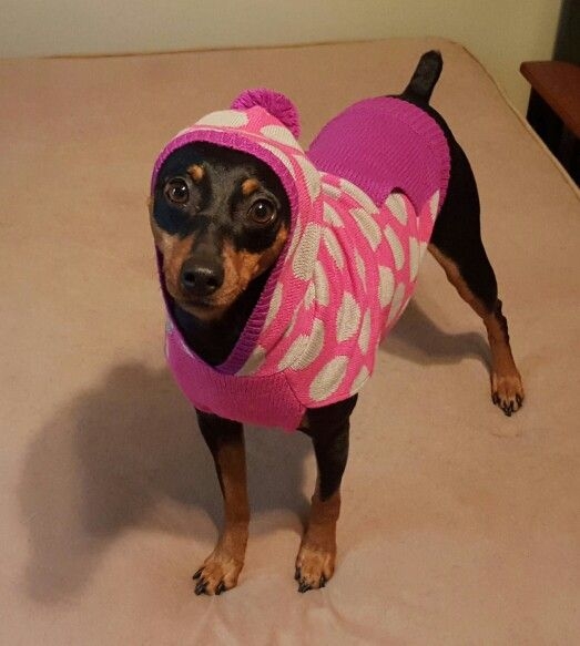 Just a min pin and her sweater