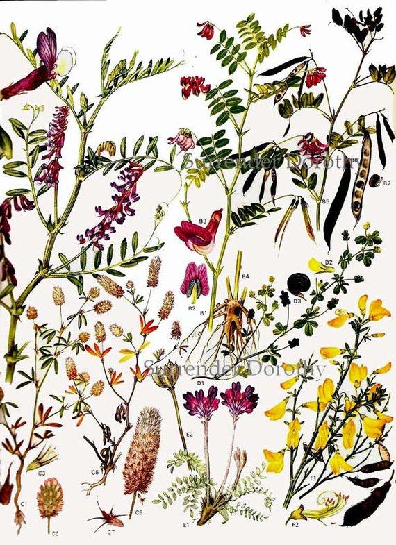 Wild Pea Legume Flowers Botanical Exotica Of Europe Vintage ...
