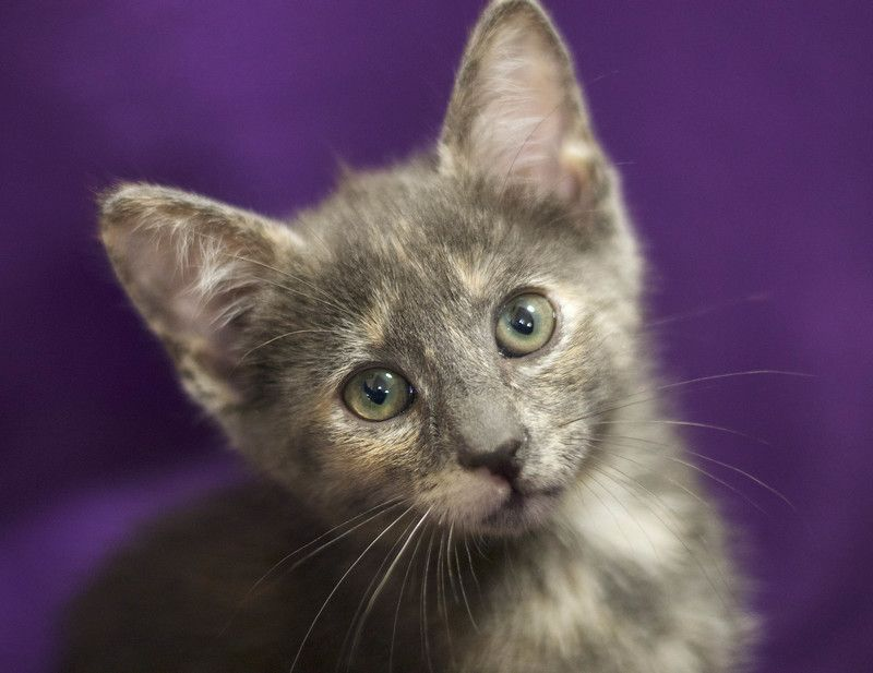ADOPTED!  Kassie is a female cat, Dilute Tortoiseshell, located at All Cats Rescue in Sioux Falls, SD.