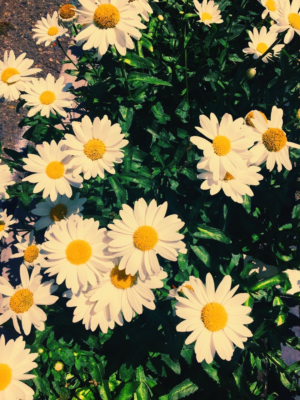 cute daisy wallpaper | iphone backgrounds in 2018 | pinterest