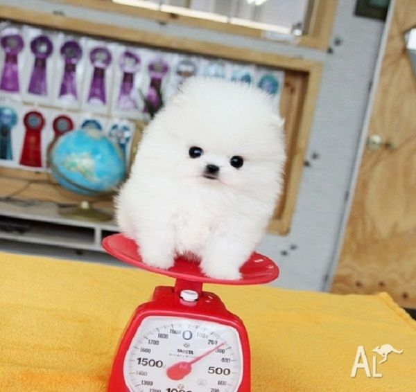 Teacup Pomeranian Puppies For Sale 250 Zoe Fans Blog Pomeranian Puppy For Sale Pomeranian Puppy Teacup Cute Baby Puppies