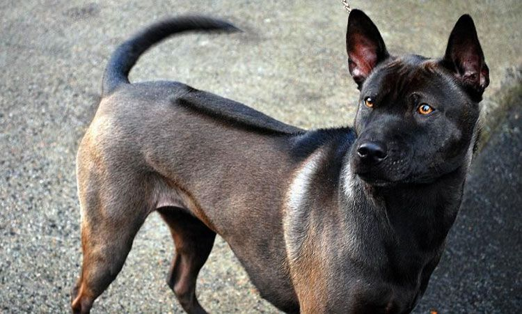 Thai Ridgeback Dog Jpg 750 451 Rare Dog Breeds Thai Ridgeback