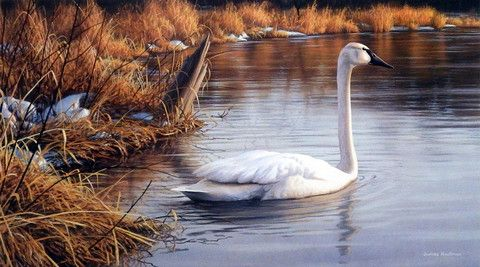 James Hautman's print SPRING THAW is a beautiful painting of a solitary Trumpeter Swan at rest during spring migration. the Trumpeter Swan is the largest of all North American waterfowl, and in the ea