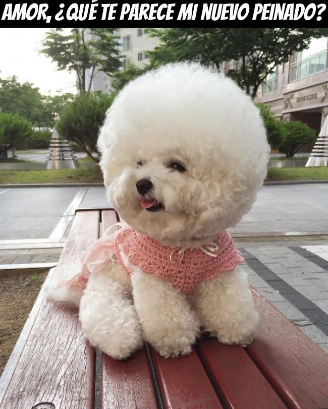 Aprender A Reir A Carcajadas Memes Chistes Chistesmalos Imagenesgraciosas Humor Bichon Frise Dog Haircuts Fluffy Puppies