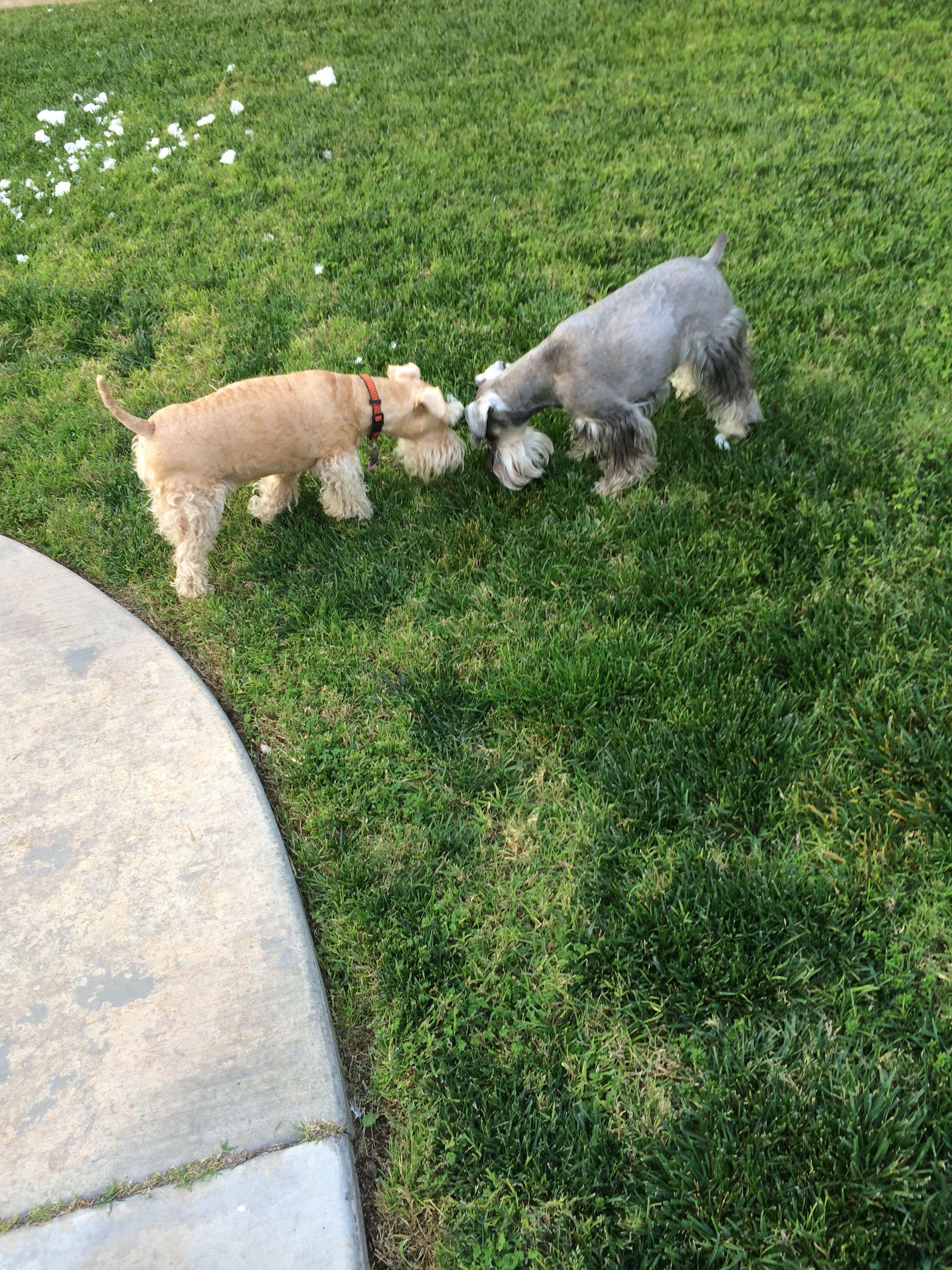 A mini schnauzer Zack and a little Lakeland Terrier Piper