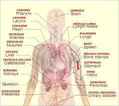 heart organ pintrest - Google Search | Human body organs ...