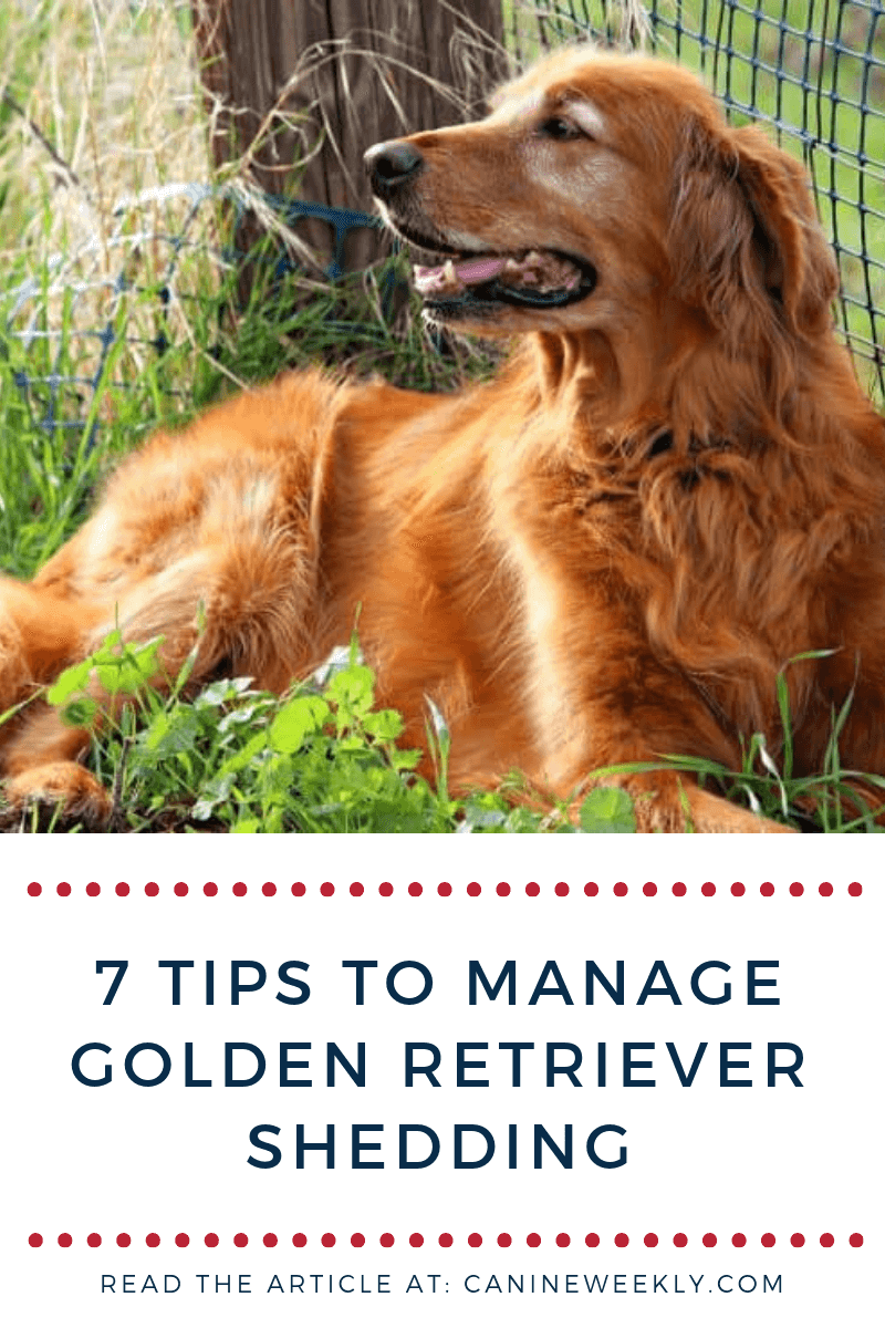 7 Top Tips To Manage Your Golden Retriever S Shedding Canine