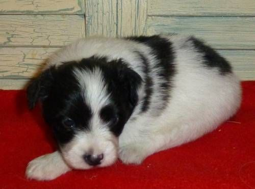 Dogs Puppies For Sale In Houston Ebay Classifieds Kijiji Page 1 Papillon Puppies For Sale Papillon Puppy Puppies
