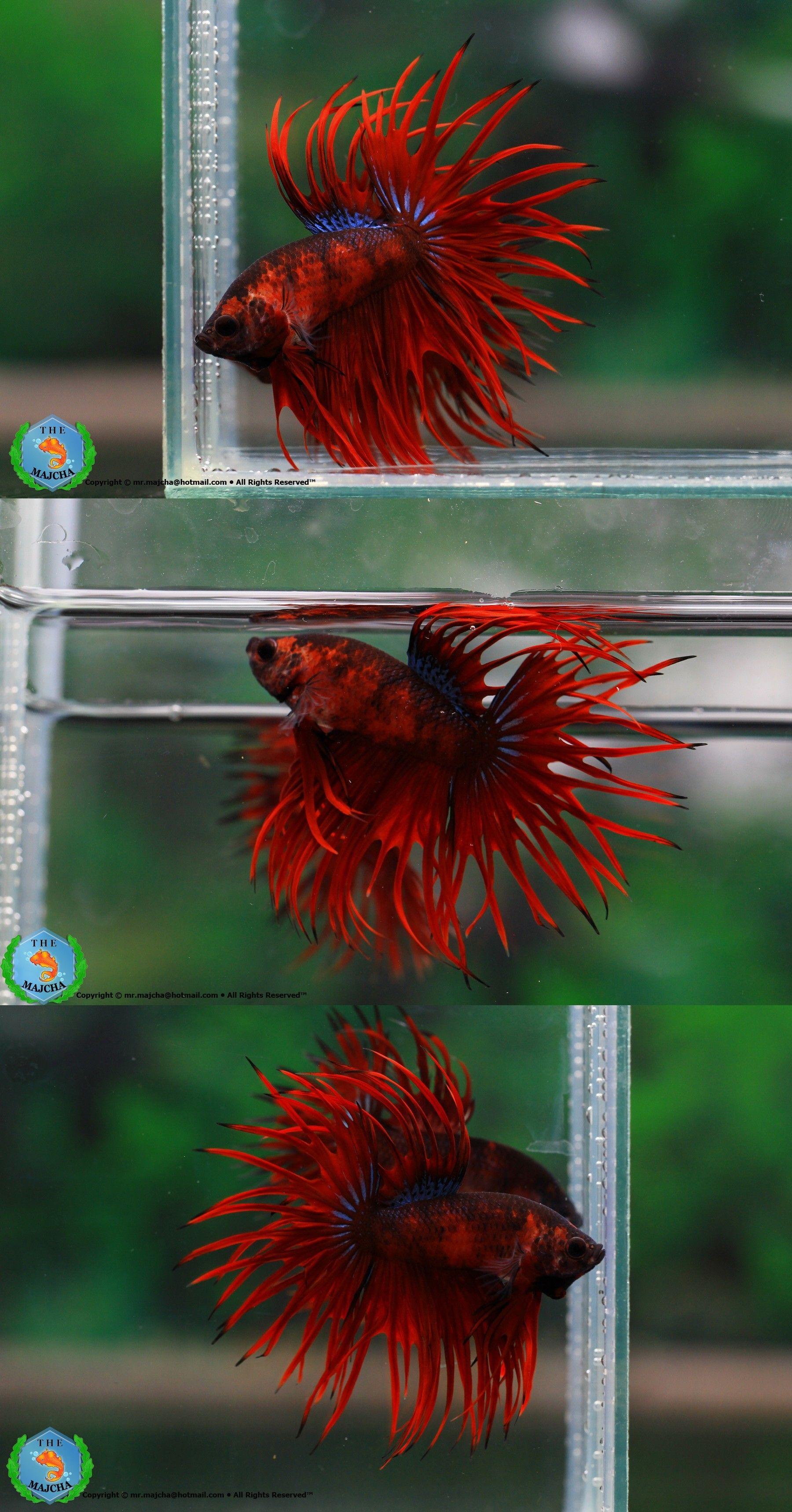 AquaBid.com - ++ Fancy Crowntail 600607 ++ | Beautiful Betta Fish ...