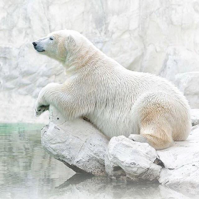 #PhotoduJour Le pelage parfaitement assorti à son environnement, cet ours polaire surveille discrètement les environs depuis son promontoire. Ses deux épaisses couches de fourrure et sa graisse l'isolent du froid, même lorsque les températures dégringolent au-dessous de zéro. ©Jongsung Ryu #ours #planetdiscovery #exploringtheglobe #picoftheday #animal #winter