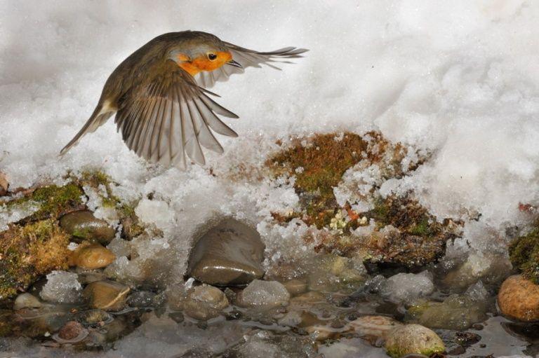 rotkehlchen im flug  robin in flight mit bildern