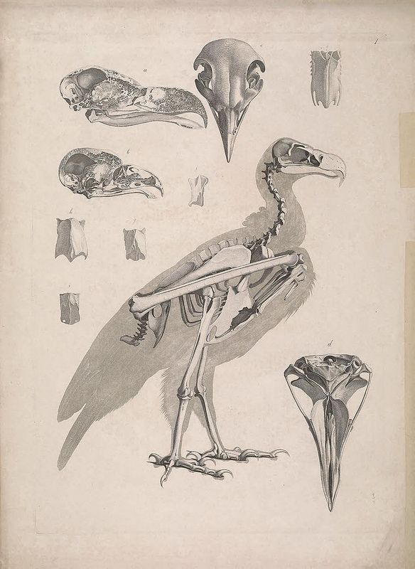 n470_w1150 in 2019 | Birds | Anatomy sketches, Animal