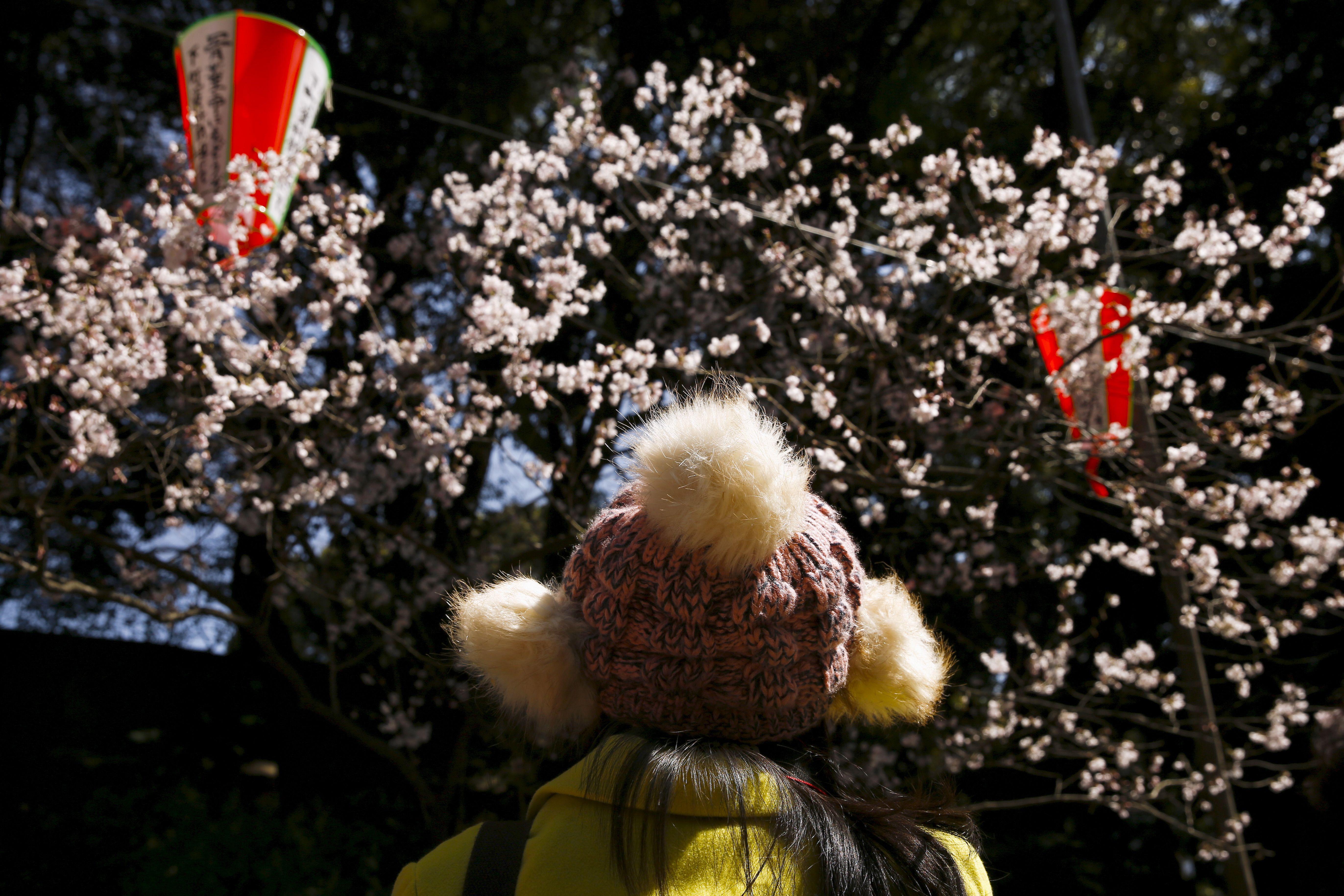 Breathtaking Cherry Blossoms Bloom Around The World Cherry Blossom Beautiful Pink Flowers Cherry Blossom Tree