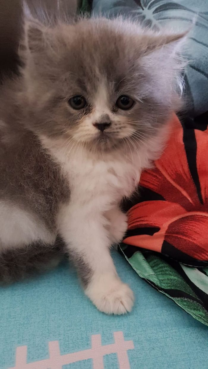 Have You Seen Fluffy A Missing Persian Kitten Lost At Bukit Batok In 2020 Persian Kittens Cute Animals Spotted Cat